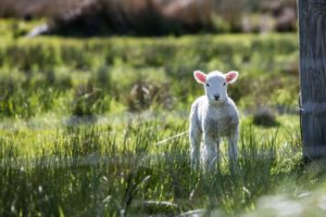 Are you a lost sheep? You are on hunt by the shepherd to rescue you